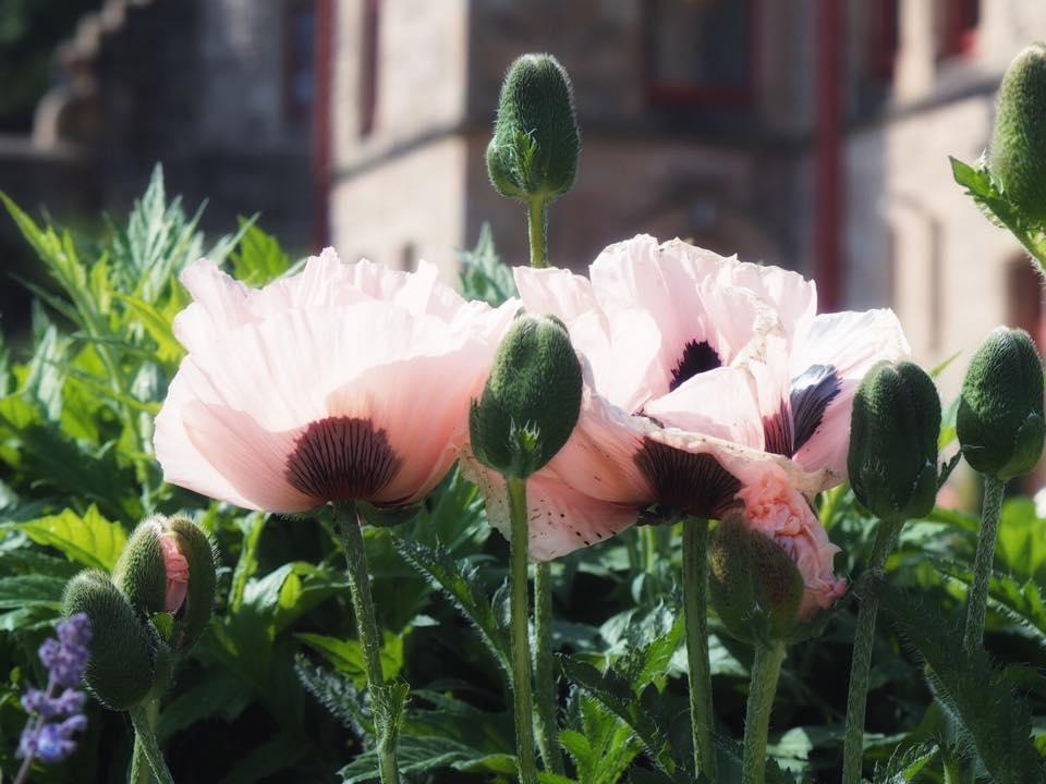 Belfast Castle Garden Roses