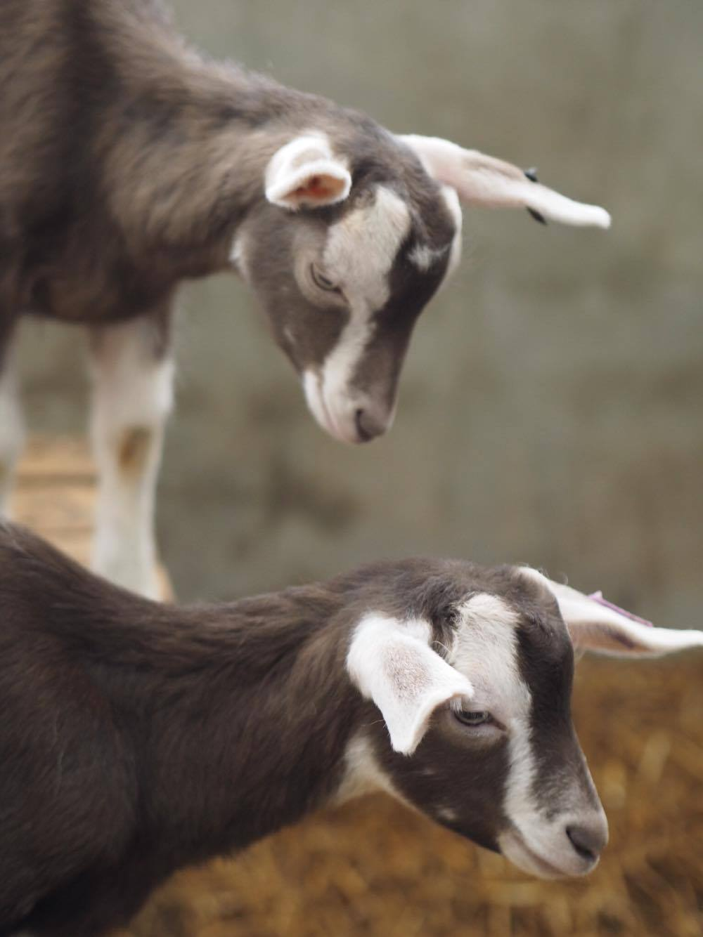 Streamvale Open Farm Goats