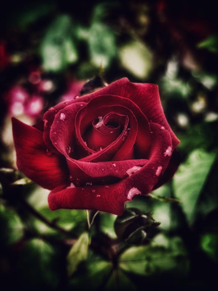 Rose Week Lady Dixon Park.jpg